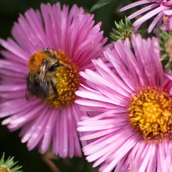 Pink Daisy Flower (Bellis perennis)