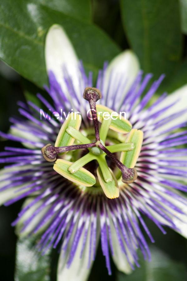 Passion Flower (passiflora incarnata )
