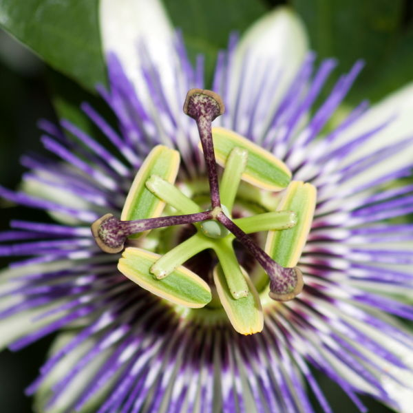 Passion Flower (passiflora incarnata )