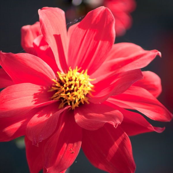 Red Dahlia Flowers (Dahlia)
