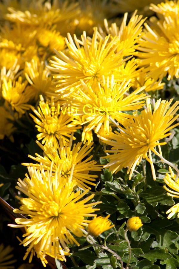 Chrysanthemum Flower (Chrysanthemum)