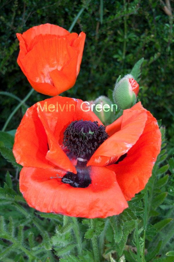 Poppy Flowers (Papaverales)