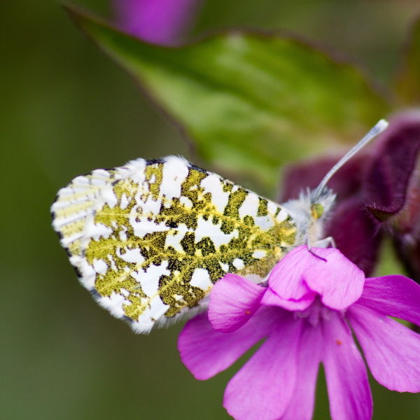 Orange Tip Butterfly (Anthocharis cardamines) Red Campion Flower (Silene dioica)