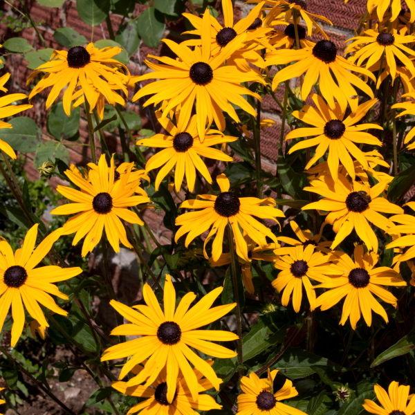 Black Eyed Susan Flower (Rudbeckia Hirta)