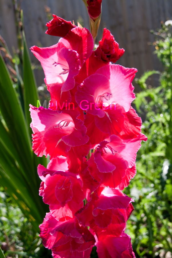 Hollyhocks Flower (Alcea)