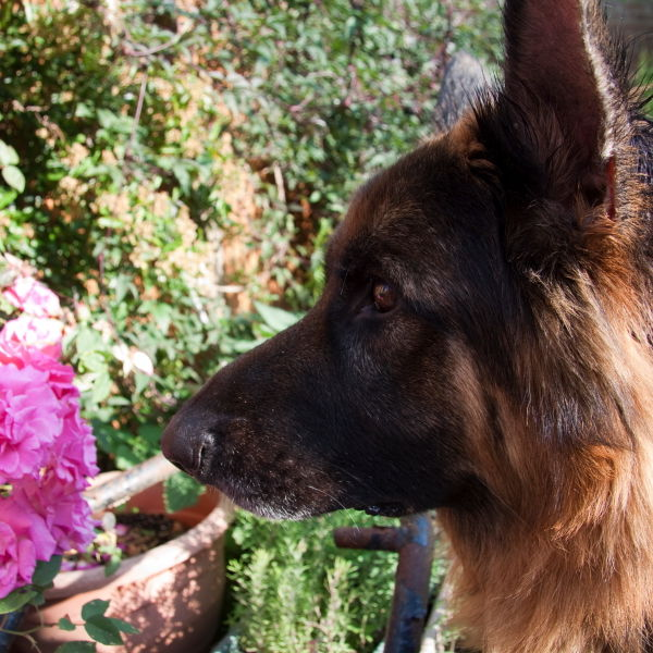 Roses (Rosa) Flowers With German Shepard Dog