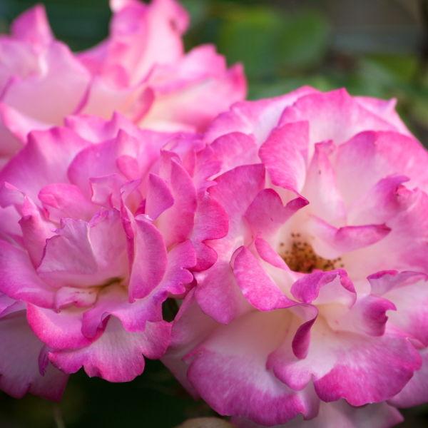 Roses (Rosa) Flowers