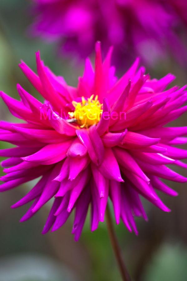 dahlia ( pinnata Cav) Flower