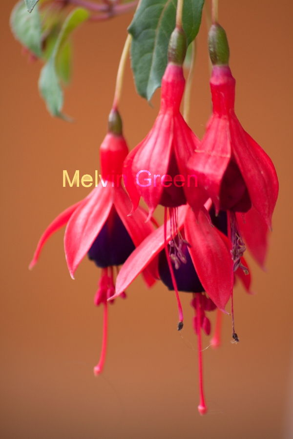 Fuchsia (Fuchsia) Flower