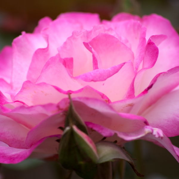 Pink Rose (Rosa) Flowers