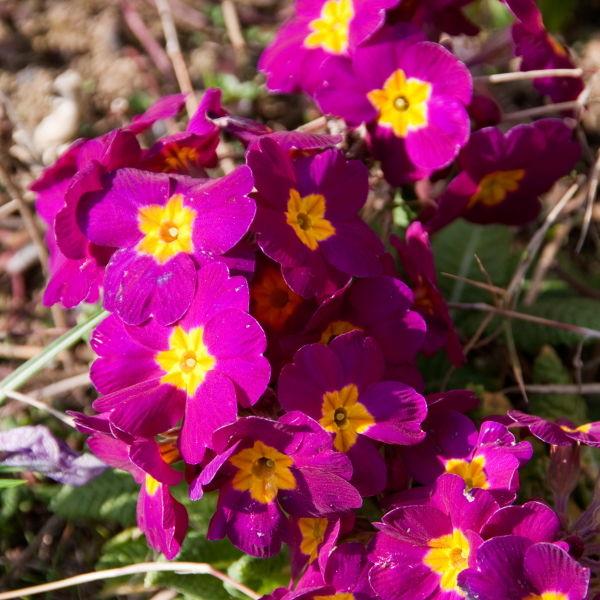 primrose (Primula vulgaris) Flower