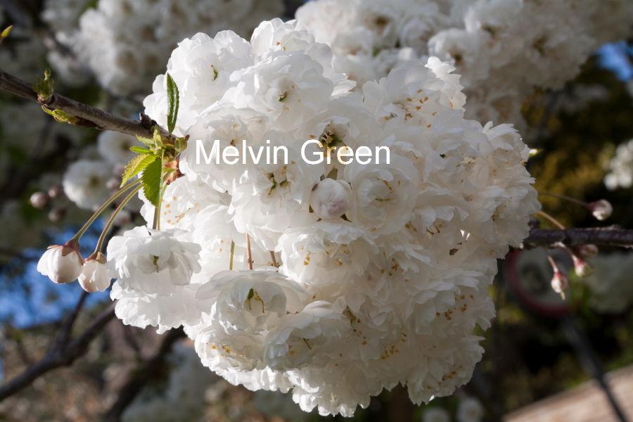 Apple Blossom White (Malus domestica)