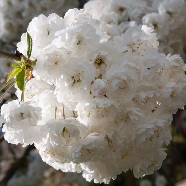 Apple Blossom White (Malus domestica)
