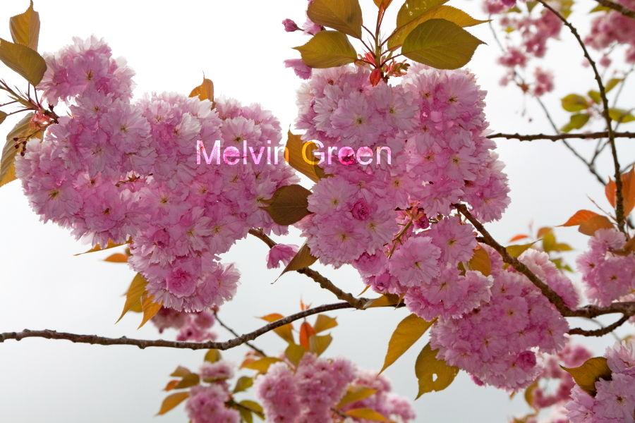 Apple Blossom Pink (Malus domestica)