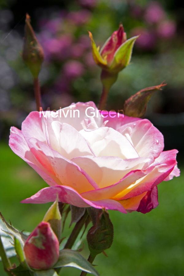 Rose (Rosa) Flower