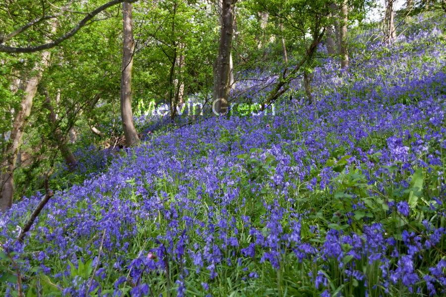 Bluebell (Hyacinthoides non-scripta) Flowers