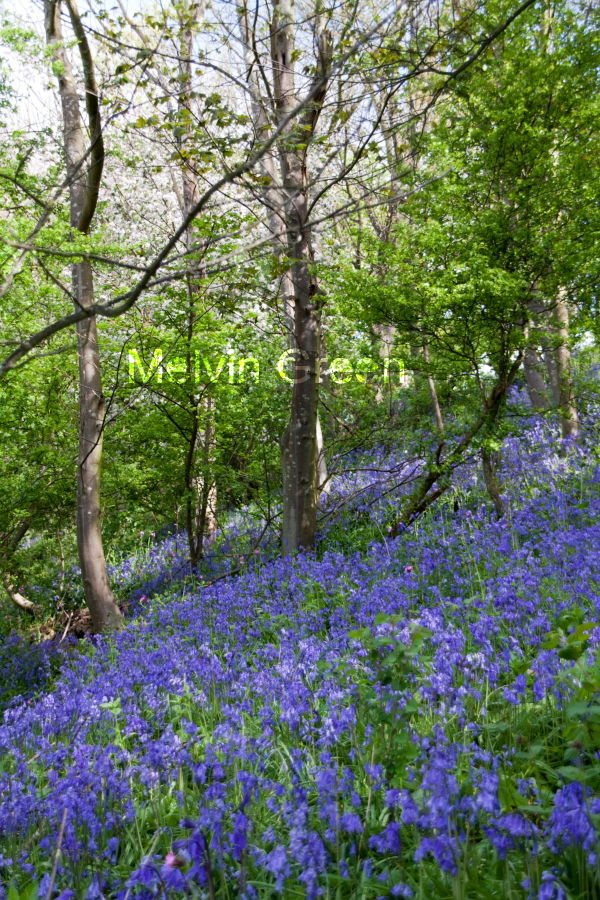 Bluebell (Hyacinthoides non-scripta) Flowers