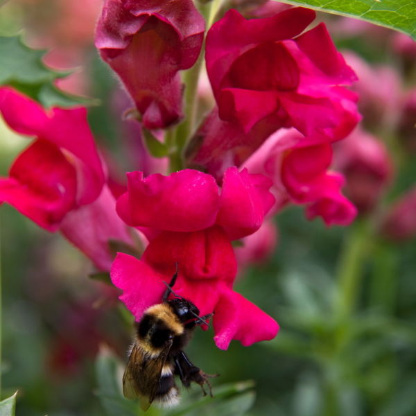 Snap Dragon (Antirrhinum) Bee