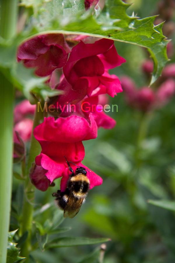 Snap Dragon (Antirrhinum) Bee