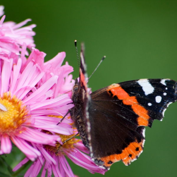 Red Admiral Butterfly (Vanessa atalanta) Daisy Flower