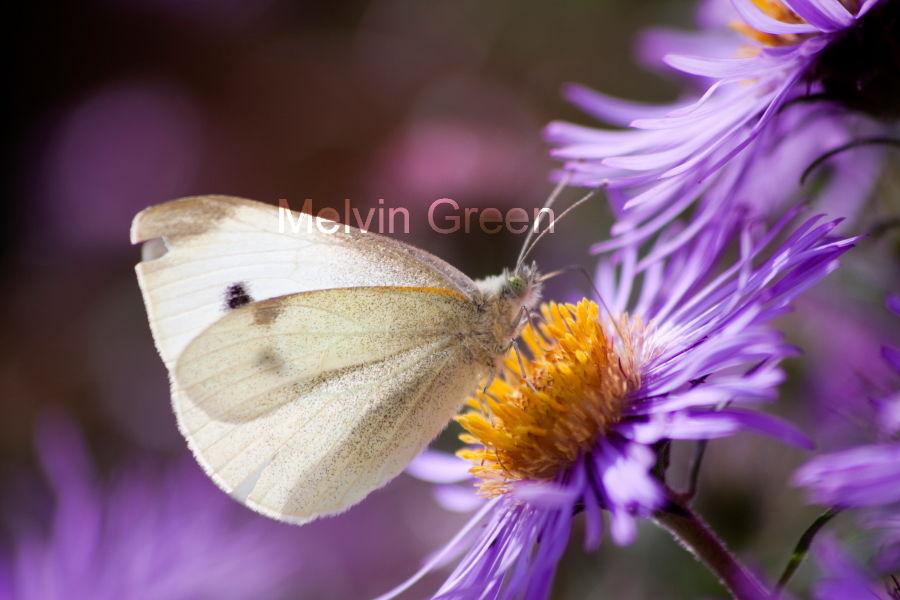 Small White Butterfly (Pieris rapae) Daisy Flower Bellis perennis