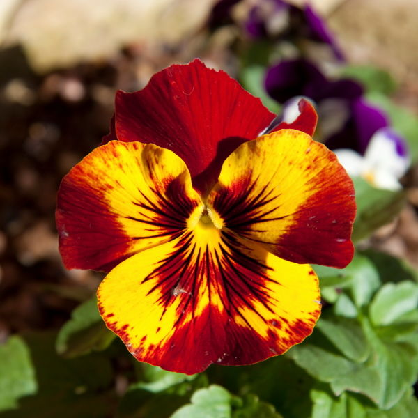 Pansy (Viola tricolor) Flower