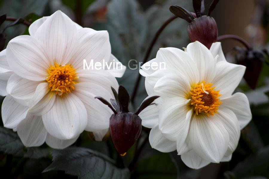 Dahlia Flower ( pinnata Cav)