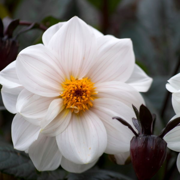 Dahlia Flower ( pinnata Cav)