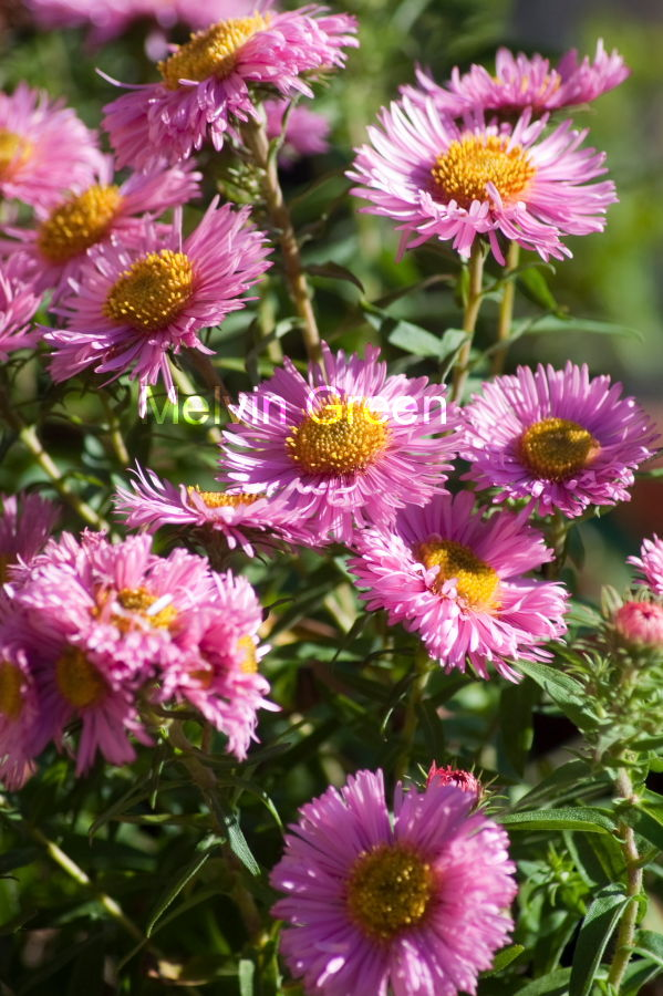 Daisy Flowers (Bellis perennis)