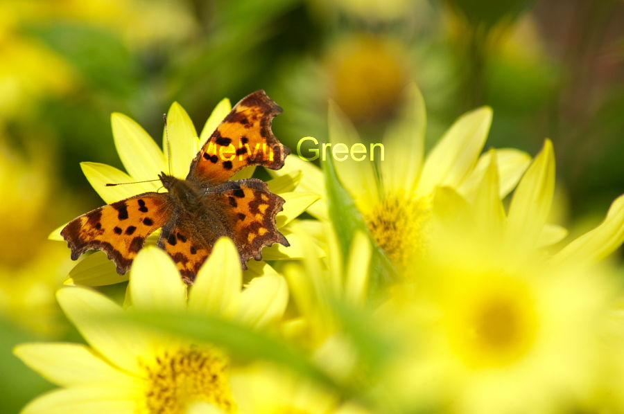 Comma Butterfly (Polygonia c-album) on Daisy  (Bellis perennis) Flower
