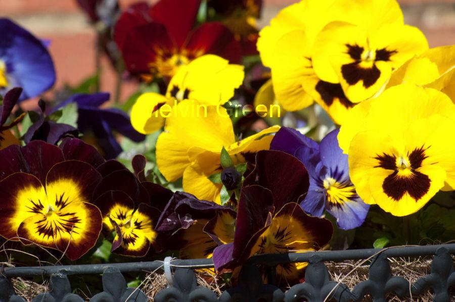 Pansy (Viola tricolor) Flower