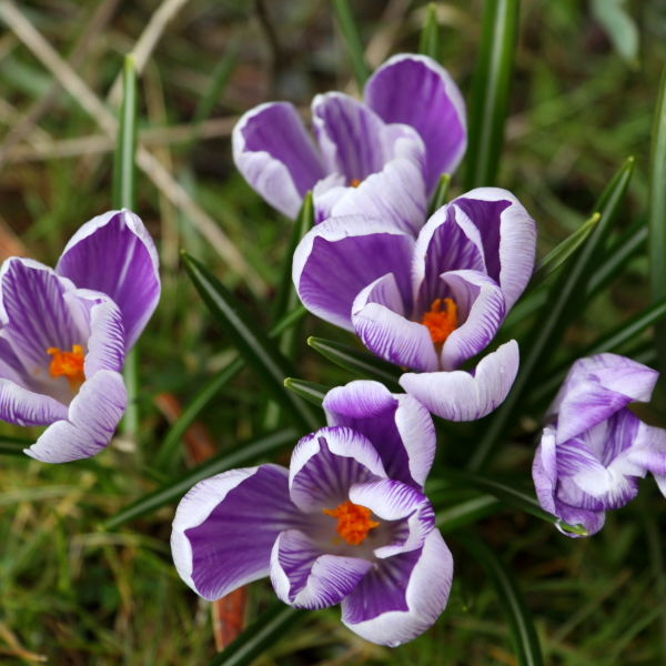 Crocus Flowers (Crocus)
