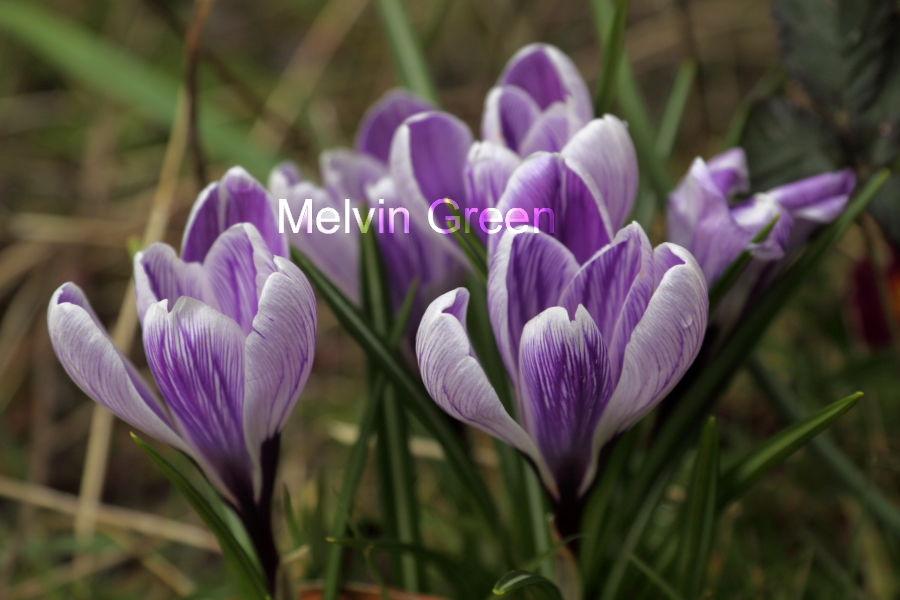 Crocus Flowers (Crocus)
