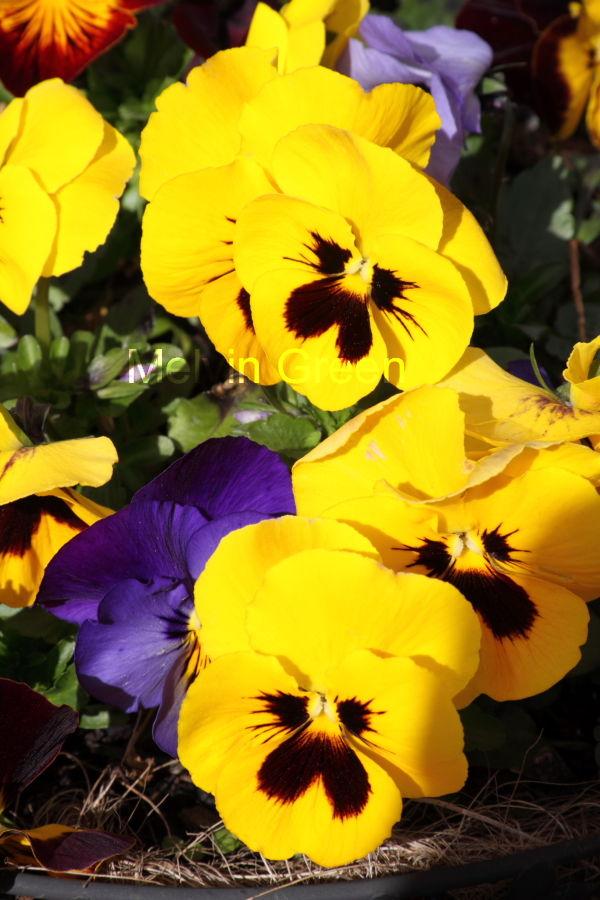 yellow Pansy (Viola) Flower