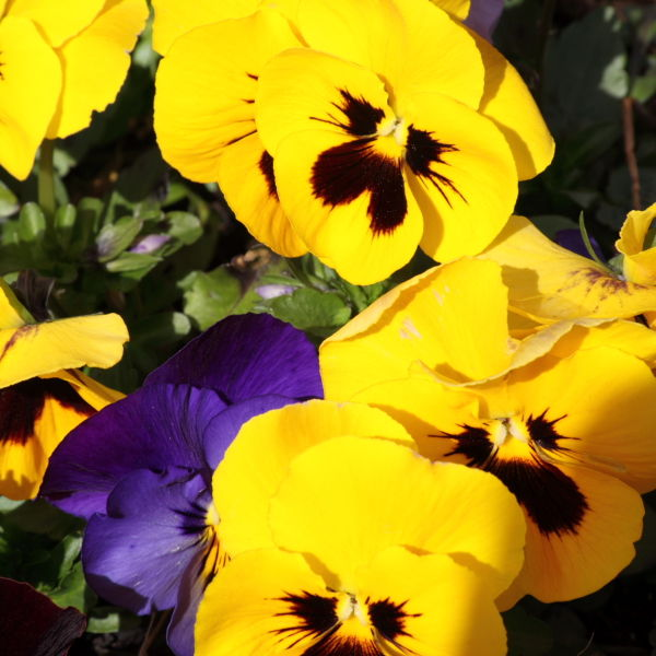 yellow Pansy (Viola) Flower