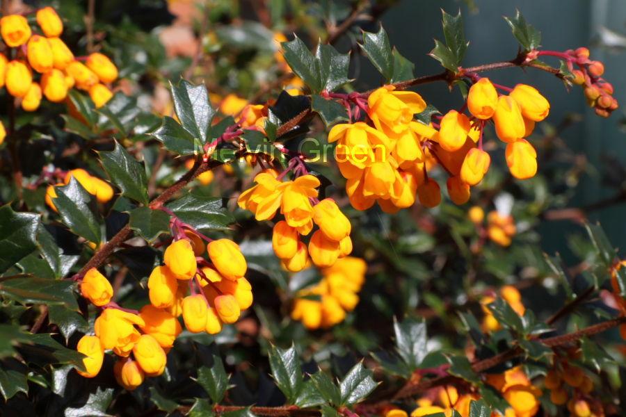 Evergreen Scrub with Orange Flowers