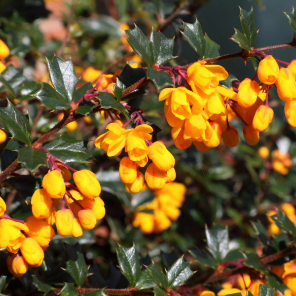 Evergreen Scrub with Orange Flowers