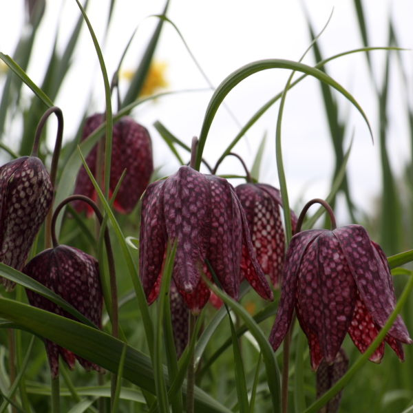 Snakes Head (Fritillaria meleagris) Flowers