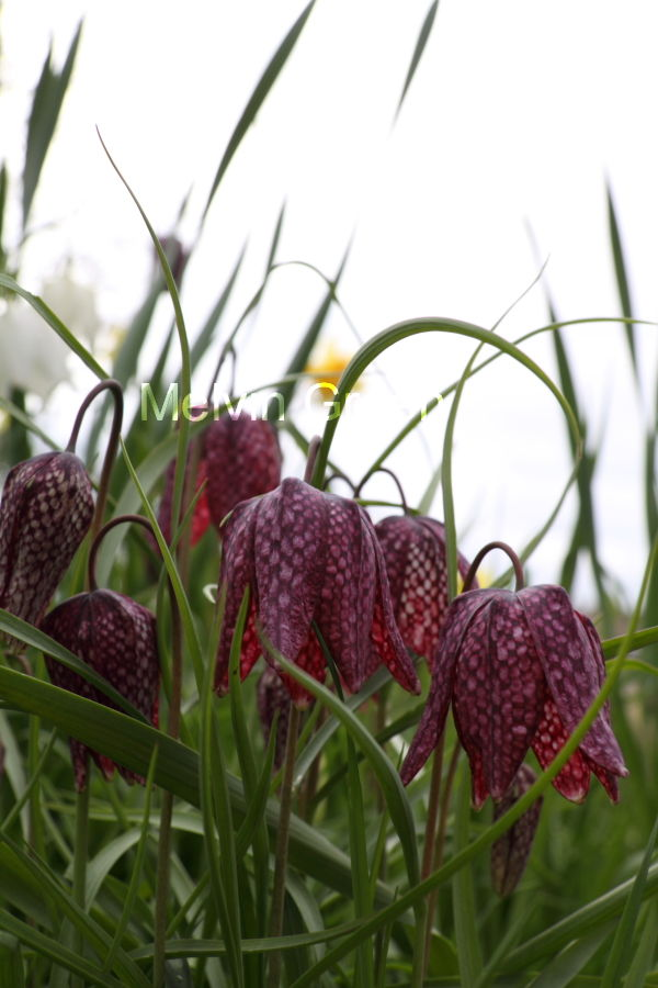 Snakes Head (Fritillaria meleagris) Flowers