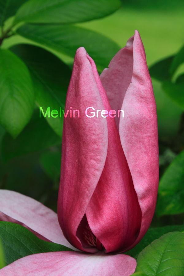 magnolia  (Magnolia) pink Flower