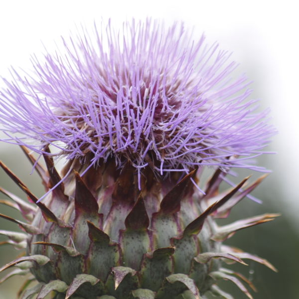Cotton Thistle (Onopordum Acanthium) Flower