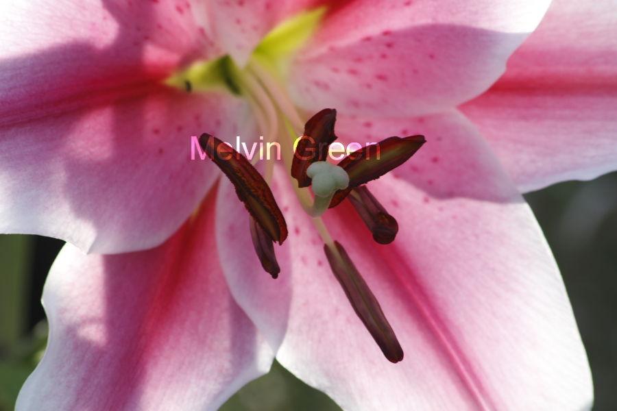 Asiatic Lily (Lilium)
