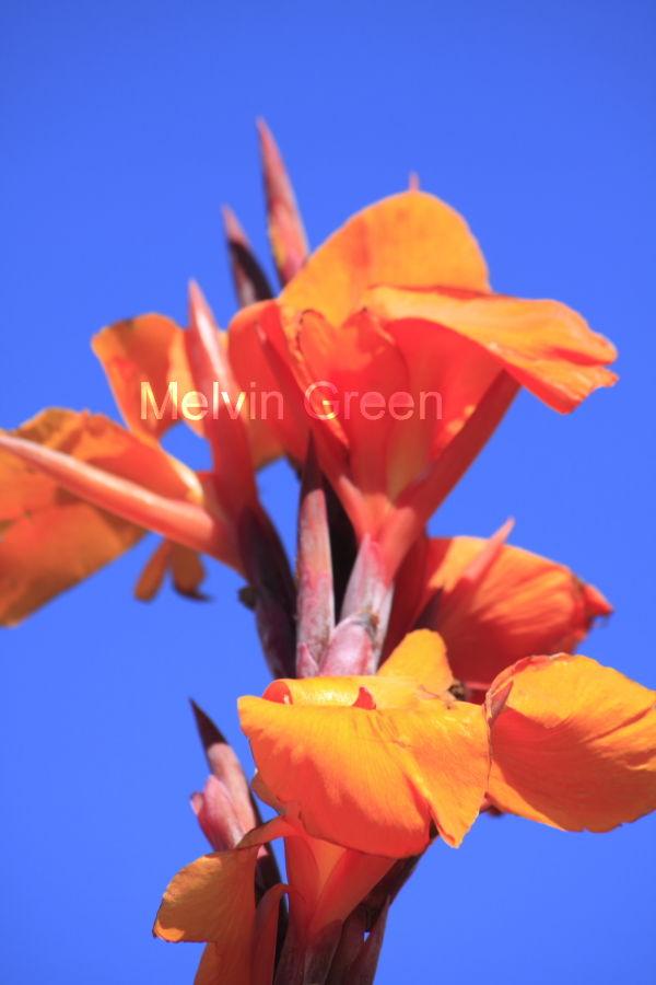 Gladioli (Gladiolus) Flower