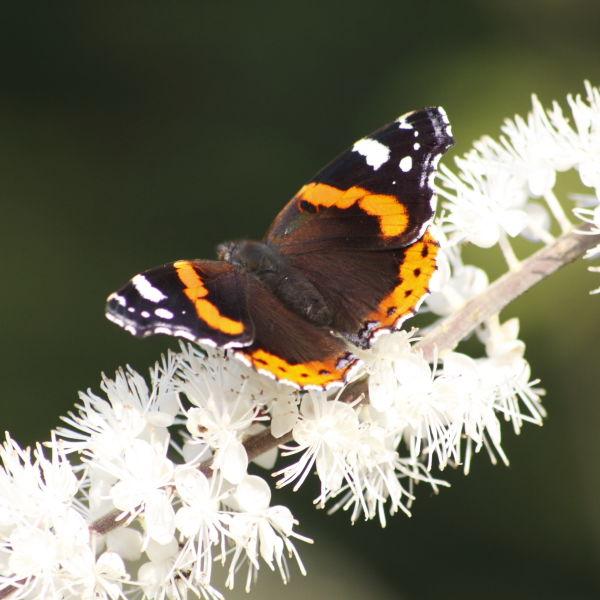 Red Admiral Butterfly (Vanessa atalanta) cherry blossom  (Prunus)