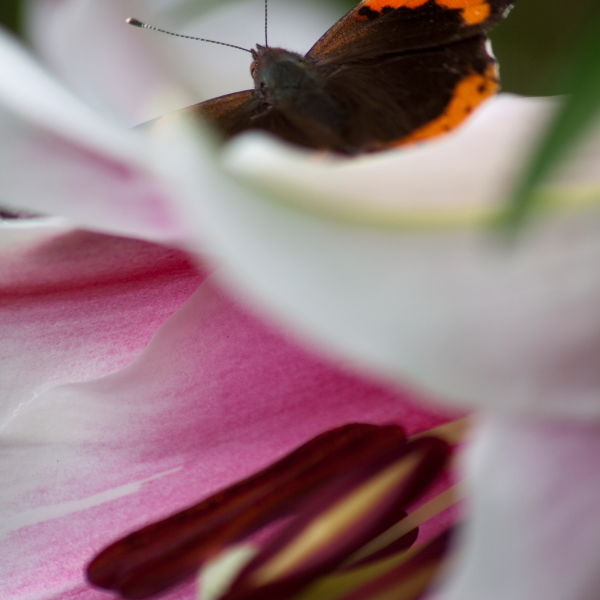Asiatic Lily (Lilium) Red Admiral Butterfly (Vanessa atalanta)