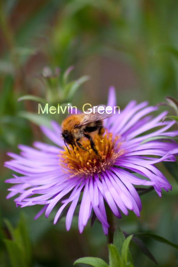 Daisy Flower (Bellis perennis) bee (Anthophila)