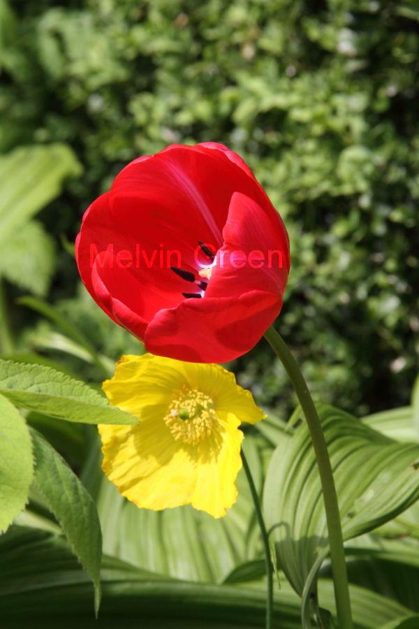 Tulip Flower (Tulipa) Anemone Flower