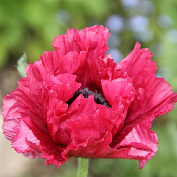 Poppy Flowers (Papaverales)