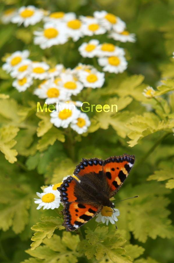 Daisy Flowers (Bellis perennis) Small Tortoiseshell Butterfly (Aglais urticae)