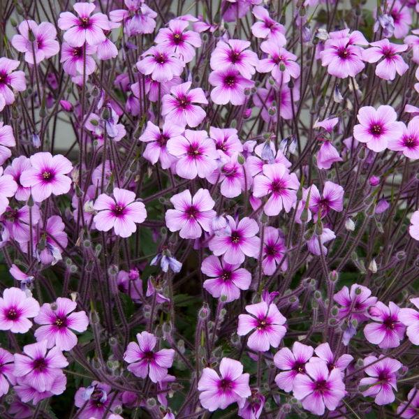 Pink Cranesbill (Geranium) Flowers